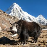 Black yak on the way to Everest and mount Pumo ri. Black yak, bos grunniens or bos mutus on the way to Everest base camp and mount Pumo ri - Nepal Himalayas royalty free stock photography