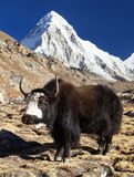 Black yak on the way to Everest and mount Pumo ri. Black yak, bos grunniens or bos mutus on the way to Everest base camp and mount Pumo ri - Nepal Himalayas stock images
