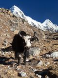 Black yak on the way to Everest and mount Pumo ri. Black yak, bos grunniens or bos mutus on the way to Everest base camp and mount Pumo ri - Nepal Himalayas stock image