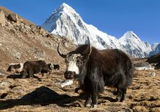 Black yak on the way to Everest and mount Pumo ri. Black yak, bos grunniens or bos mutus on the way to Everest base camp and mount Pumo ri - Nepal Himalayas stock photography
