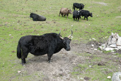 Black yaks Stock Photography