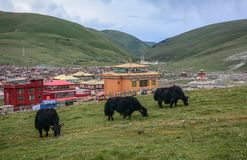Black yaks on green hill royalty free stock photos