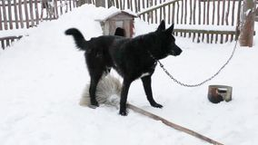Black yard dog plays in the winter stock footage