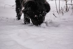 Black yard dog, with shaggy hair, Retriever. Winter, frosty weather and a lot of white snow. stock images