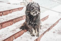 Black yard dog, with shaggy wool. Homeless animals. Winter, frosty weather and a lot of white snow. Pet royalty free stock image