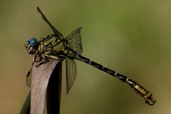 Black yellow anax imperator Royalty Free Stock Photography