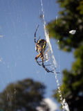 Black - and yellow Argiope - Female Stock Images