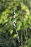 Black and Yellow Argiope spider Stock Images
