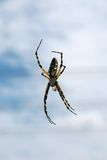 Black & Yellow Argiope Spider Stock Images