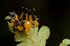 Black and yellow assassin bug nymph Royalty Free Stock Image