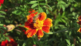 Black and yellow bee on a flower stock footage
