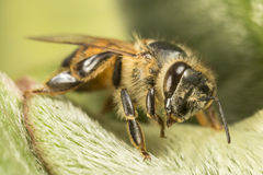 Black and yellow bee on green leaf. Close up macro detail Royalty Free Stock Images