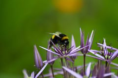 Black yellow bee on the purple flower. Bee pollinating the purple flower, close up. The background of the photo is green Royalty Free Stock Images