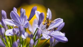 Black and Yellow Bee on Purple Petaled Flower Stock Photography