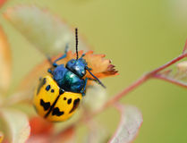 Black and Yellow Beetle Macro Royalty Free Stock Photos