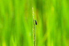 Black and yellow beetle on rice Royalty Free Stock Image