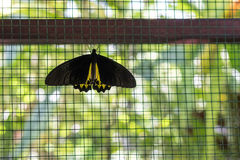 Black and yellow birdwing butterfly hold on cage in the park of Bali island, Indonesia. Stock Images