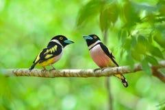 Black and yellow Broadbill bird Stock Image