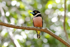 Black-and-Yellow Broadbill Eurylaimus ochromalus Stock Photography