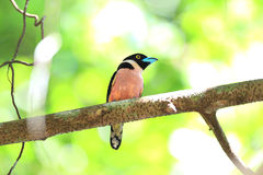 Black-and-yellow Broadbill Royalty Free Stock Photo