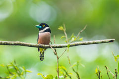Black-and-yellow Broadbill Stock Photos