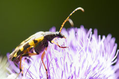 Black and yellow bug. On purple flower Stock Photo