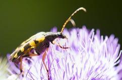 Black and yellow bug Stock Photo