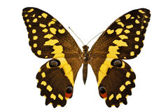 Black and yellow butterfly. Beautiful black and yellow butterfly in front of white background stock photography
