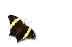 Black yellow butterfly. Isolated on white Stock Photos