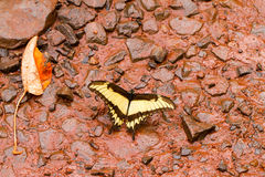 Black and yellow butterfly Royalty Free Stock Photos