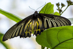 Black-Yellow Butterfly Stock Photo
