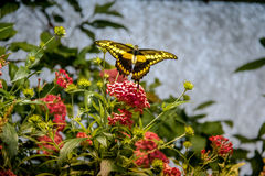 Black and Yellow Butterfly. On flowers Stock Photo