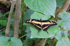 Black and Yellow Butterfly on a Leaf. Black and yellow butterfly resting on a large leaf Royalty Free Stock Images