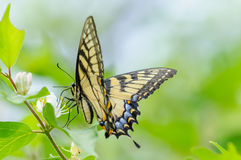 Black and Yellow Butterfly. With a nice green and blue background stock photo