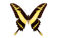 Black and yellow butterfly Papilio thoas Stock Photo