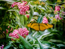 Black and Yellow Butterfly. On pink flowers Royalty Free Stock Photography