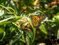 Black and Yellow Butterfly. On a plant Royalty Free Stock Image
