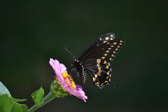 Black and yellow butterfly on purple Zinnia. Royalty Free Stock Photography