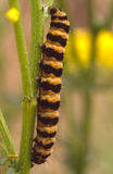 Black and Yellow Caterpillar Stock Image