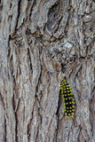 Black and yellow caterpillar. Stock Images