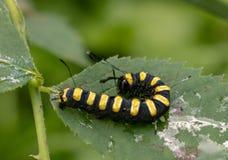 Black and yellow caterpillar royalty free stock image