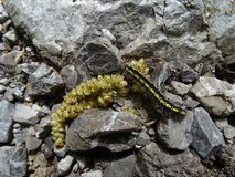 Black and yellow caterpillar is eating on the grey stones vector illustration
