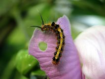 A black and yellow caterpillar eating purple flower. With soft background Stock Photography
