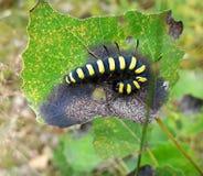 Black yellow caterpillar larva Stock Photos