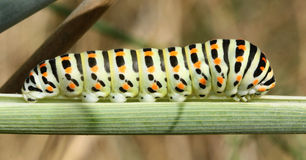 Black and Yellow Caterpillar on a Plant. A beautiful yellow, orange and black caterpillar Stock Photos