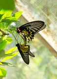 Black-yellow color butterfly breeding Royalty Free Stock Photography