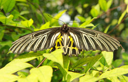Black-yellow color butterfly Royalty Free Stock Photos