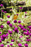 Black and yellow colored butterfly sitting on a purple flower. Black and yellow colored butterfly sitting on a purple flower eating its nectar to feed itself Royalty Free Stock Photo