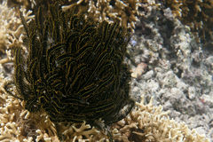 Black and yellow Crinoid Royalty Free Stock Photos