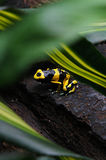 Black & Yellow Dart Frog Stock Photo